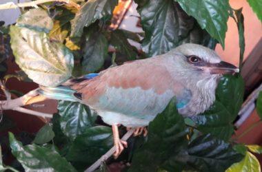 «Обитель птиц» Волгоградской епархии покидает тропический сизоворонок